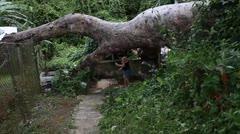 Peligro en Caimito por amenaza de árbol