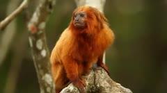 Titi leoncito, en v�a de extinci�n, busca convertirse en mascota de los Ol�mpicos de R�o